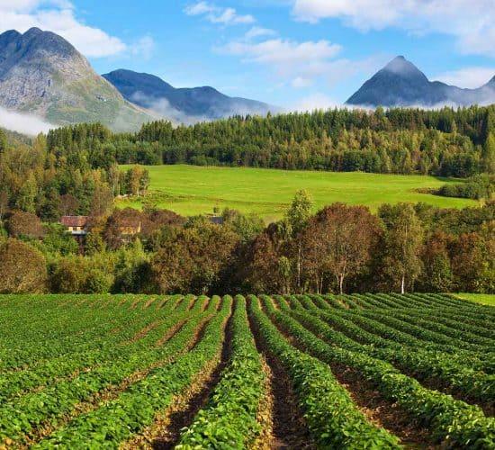 Cultivo de fresas en los campos entre las montañas de Valldal
