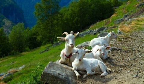 White goats relaxing next to the road in the mountains outside Geiranger, Norway